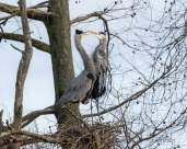 Getting Acquainted, Herons - click to enlarge