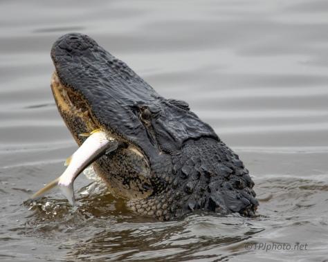Equal Billing, Alligator - click to enlarge
