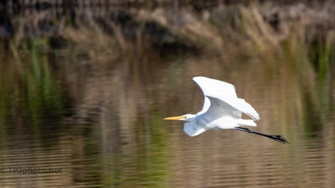 Great Egret, Low Over A Marsh - click to enlarge