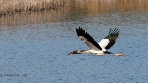 Gentle Giant, Wood Stork - click to enlarge