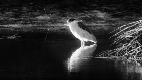 Night Heron, B&W - click to enlarge