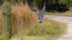 Great Blue Heron, Waited To See Where I Was Going - click to enlarge