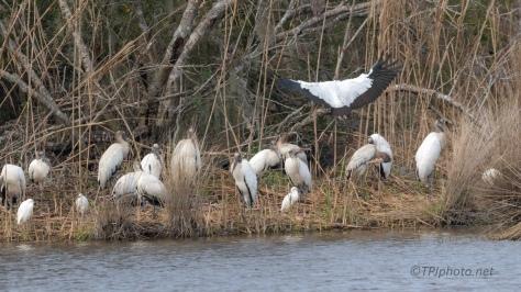 Typical Crash Landing, Wood Stork - click to enlarge
