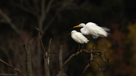 A Perfect Pose, Egrets - click to enlarge