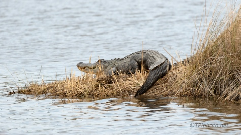 Always The Chance There's More Here Than You See, Alligator - click to enlarge