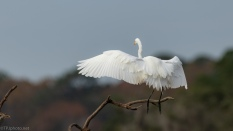 Egret Feathers And A Landing - click to enlarge