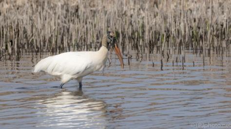A Strut'n Stork - click to enlarge