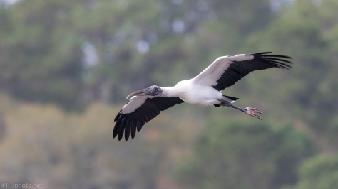 A Wood Stork Fly By - click to enlarge