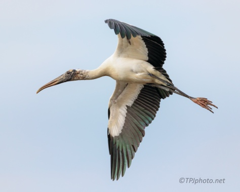 Wood Stork, A Perfect Turn - click to enlarge