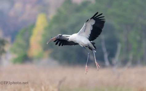 Stork In Flight - click to enlarge