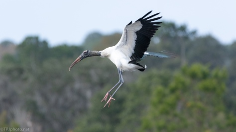 Wood Stork, Using Those Big Wings - click to enlarge