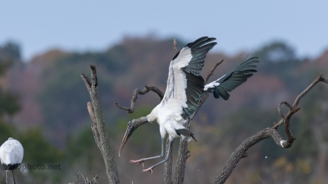 Wood Stork Moving To Tree, Always An Adventure - click to enlarge