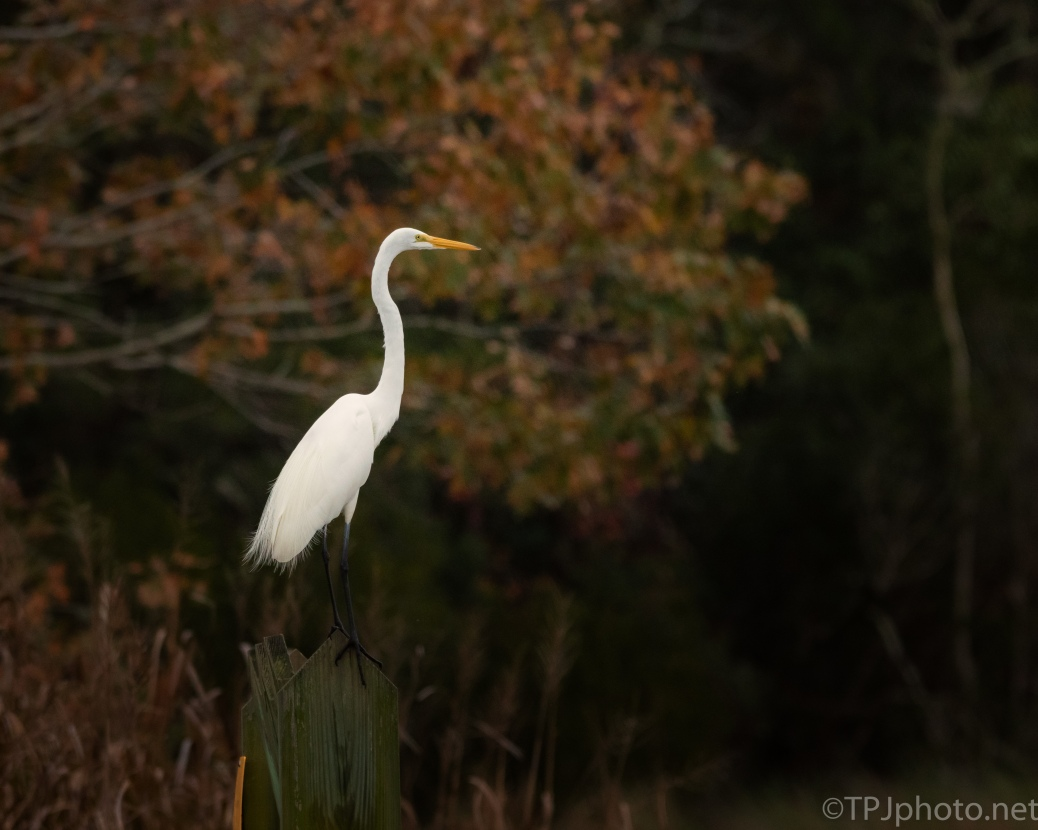 Great Egret On A Dike - click to enlarge