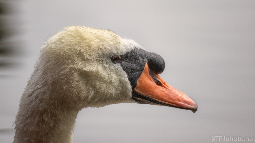 Mute Swan - click to enlarge