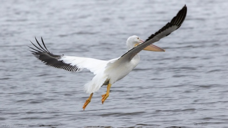 He Saw A Fish, Pelican, Anhinga - click to enlarge