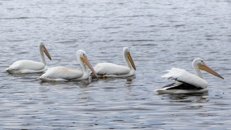 White Pelicans, A Series Of Images - click to enlarge