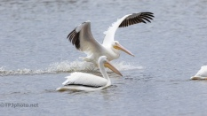 Sliding Into The Group, Pelican - click to enlarge