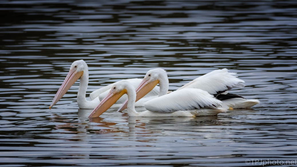 Bunch O Pelicans - click to enlarge