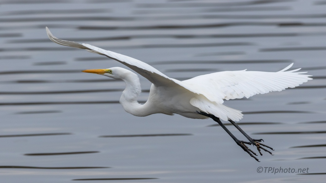 Lazy Take Off, Great Egret - click to enlarge