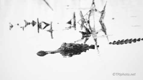 Exploring B&W High Key, Alligator - click to enlarge