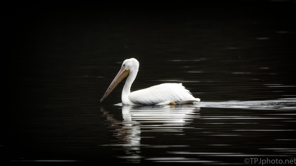 Reflections Of A Pelican - click to enlarge