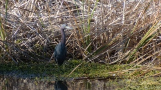 Little Blue Heron Hunting - click to enlarge