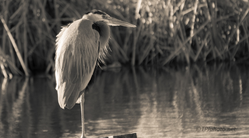 Great Blue, Sepia To Match The Day - click to enlarge