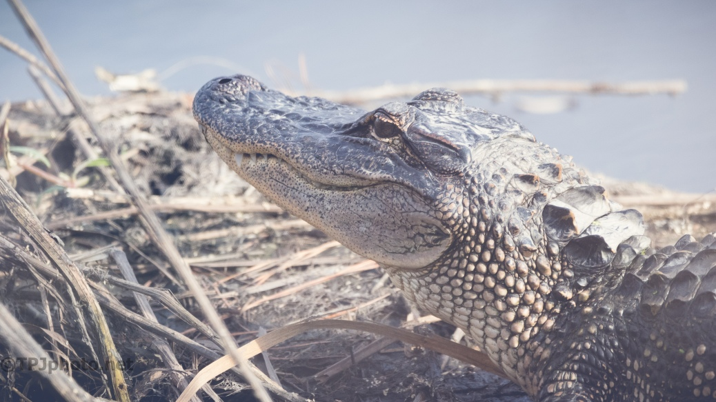 Why Is He Grinning, Alligator - click to enlarge