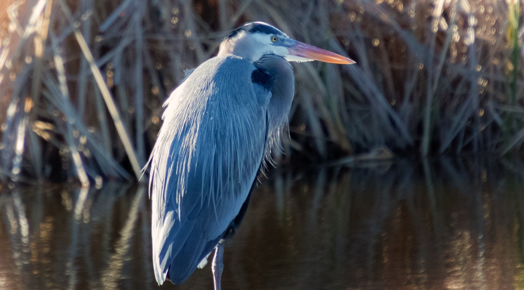 Great Blue Near The Cane - click to enlarge