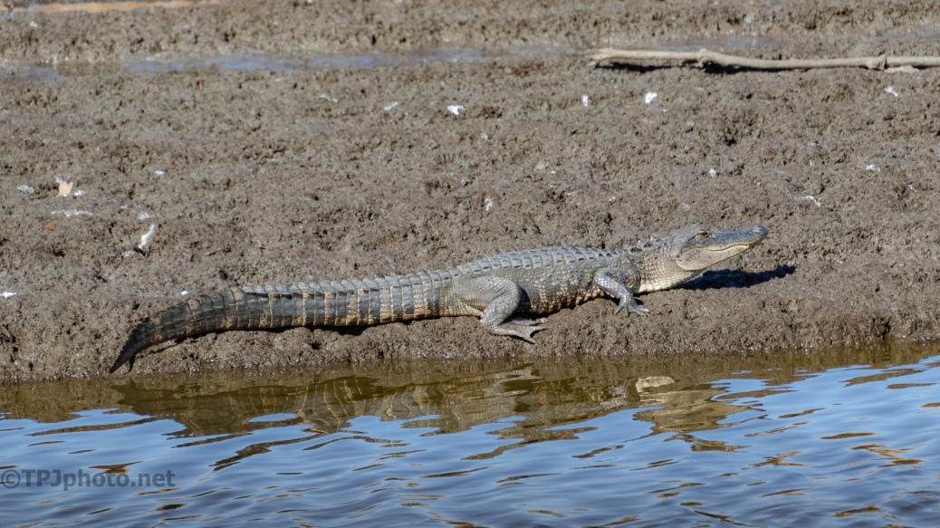 Getting Some Winter Sun, Alligator - click to enlarge