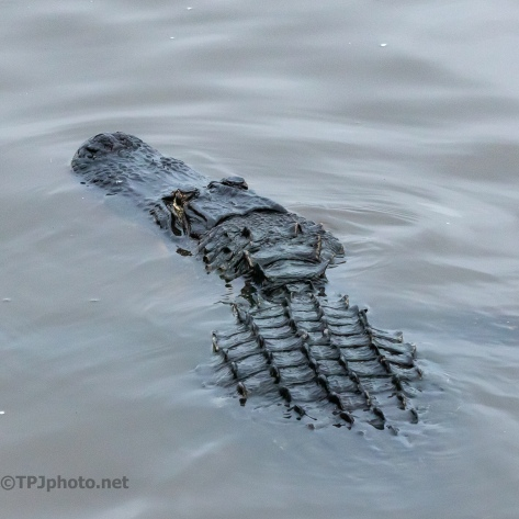 What An Alligator Looks Like Close - click to enlarge