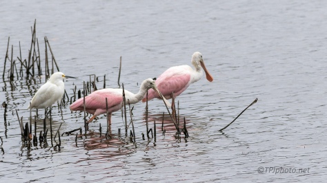 Pink And White, Snowy And Spoonbill - click to enlarge