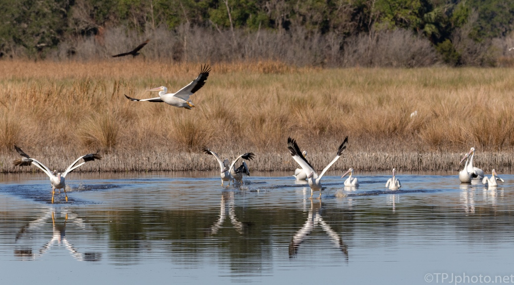 Being On The Runway, White Pelicans - click to enlarge