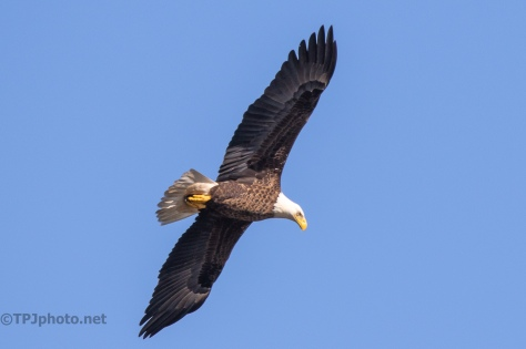 Bald Eagle, Marsh Shots - click to enlarge