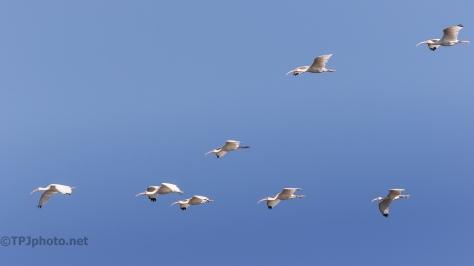 Flocks Of Ibis - click to enlarge