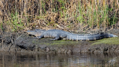 Any Dry Spot Will Do, Alligator - click to enlarge