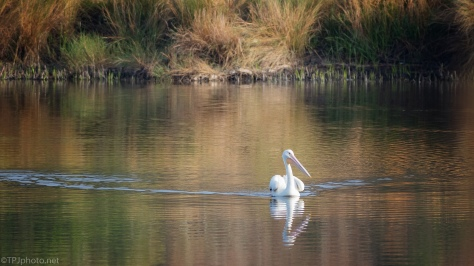 Paddling Around, Pelican - click to enlarge