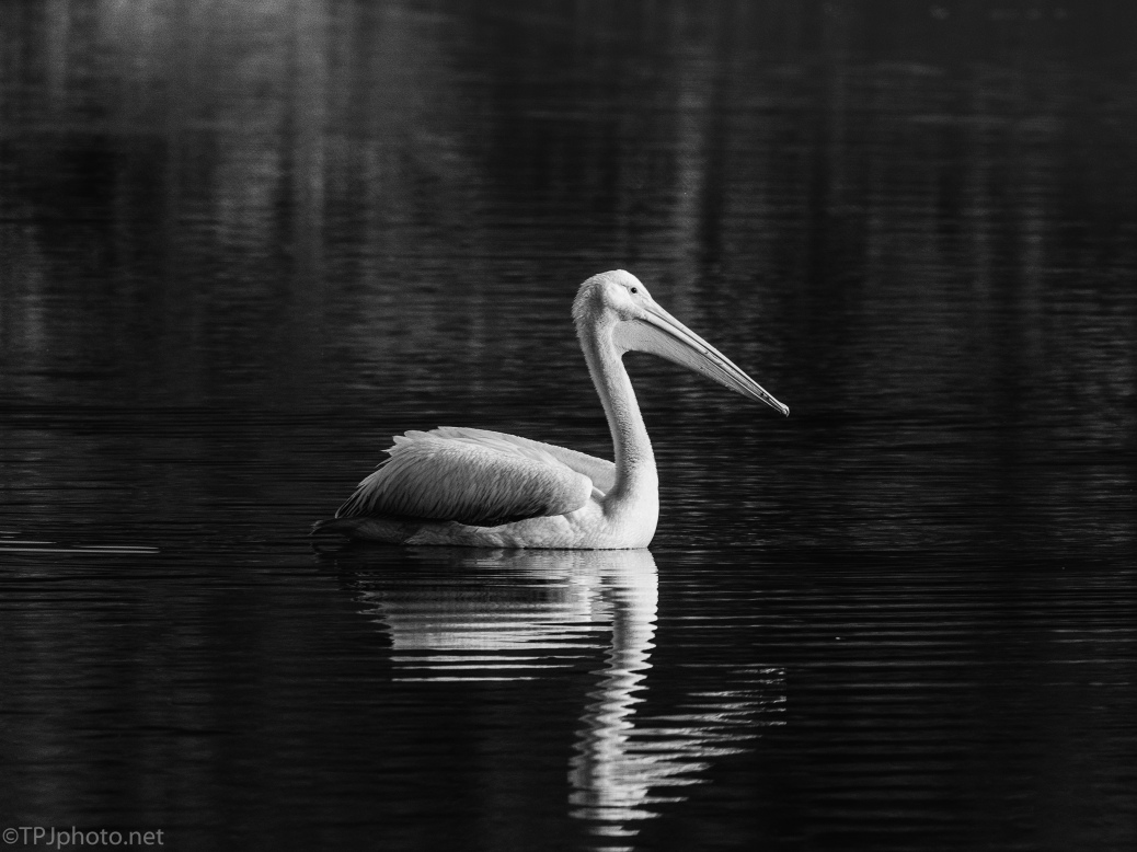 Pelican, Black And White - click to enlarge