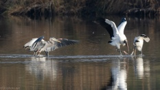 Never Know What Starts These Disagreements, Heron, Stork - click to enlarge