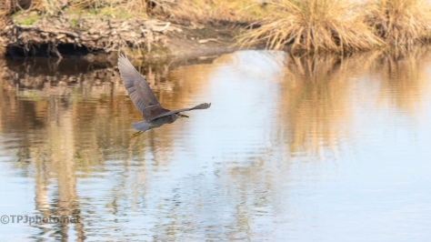 Gone In A Flash, Night Heron - click to enlarge