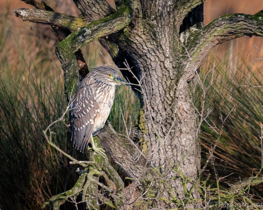Night Heron, Juvenile - click to enlarge