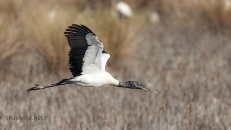 Gliding Wood Stork - click to enlarge