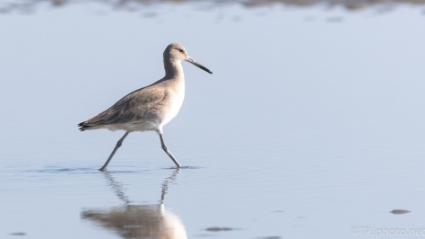 Willet, Tidal Pools - click to enlarge