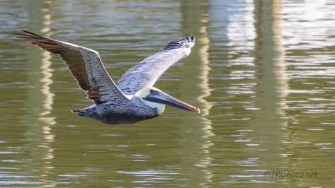 Brown Pelican, Passing By Low - click to enlarge