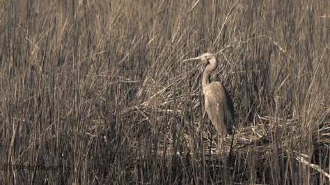 Finding 'A Needle In A Haystack', Heron - click to enlarge