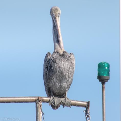 Shrimp Boat Pelican - click to enlarge