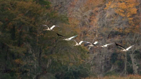 Look Of Fall, Wood Storks - click to enlarge