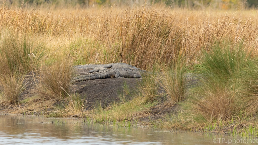 No Walking On That Dike Today, Alligator - click to enlarge