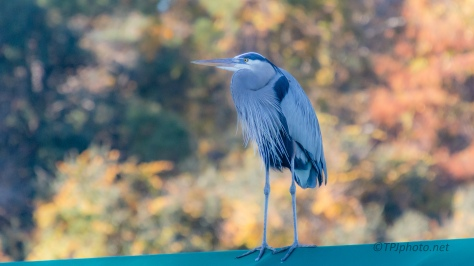 Heron With A Little Color - click to enlarge