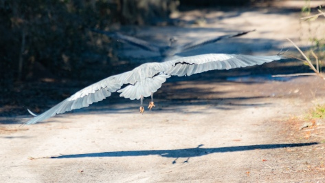 Great Blue, Great Chase - click to enlarge